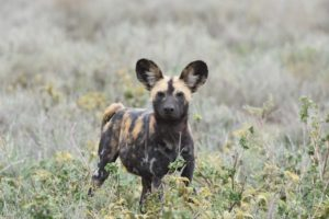a small pack of wild dogs is looking for a feed too