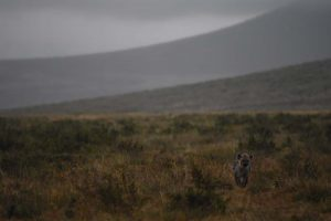 young hyena in the Ngorongoro Crater
