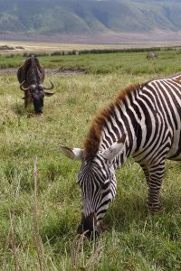 wildebeest and zebra in the Ngorongoro Crater