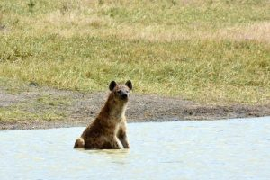 hyena cooling off