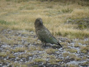 cheeky kea at Cascade Saddle camp
