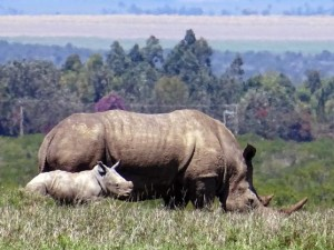 white rhino with baby