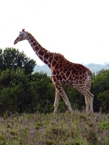 a reticulated giraffe, this is the type you often see in zoos, but it is not very common any more in the wild