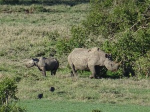 black rhino and calf - one of the big 5