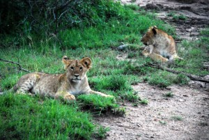 2 gorgeous lion cubs at sunset, very curious