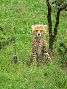 one of 2 cheetah cubs we spotted on our way home at the end of an amazing morning safari