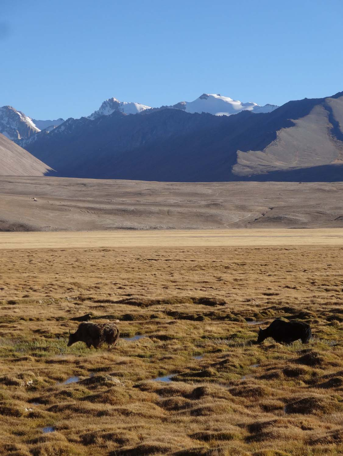 yaks on the plains of the Pamir Highway
