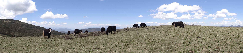 Yak Meadow near Lijiang