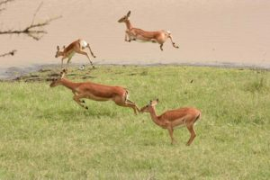 pronking impala in front of Pelican House
