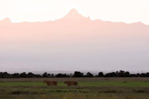 2 lionesses on their way to a quiet spot for their beauty sleep, Mt Kenya in the background