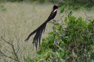 one of the new bird species for us: a beautiful male long-tailed widowbird, its tail is between 60 and 70cm long!!