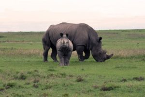 female white rhino with calf in Ol Pejeta