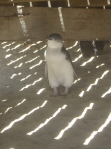 little penguin on Penguin Island