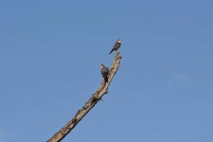 new birds for us - two red necked falcons