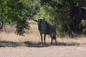 they have the nyasa wildebeest in the Selous, slightly different from the ones you see in the Serengeti