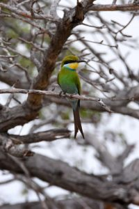 a very pretty, and first time for us, swallow-tailed bee-eater