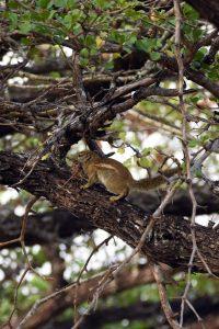 striped ground squirrel