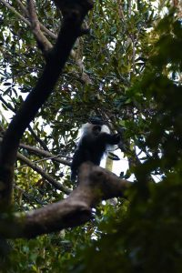 we see the Angola pied colobus for the first time in a small patch of forest with large trees