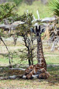 a young giraffe having a snooze