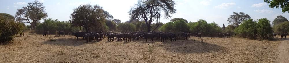 we stumble across a large herd of buffalo, before we find several lions relaxing in the riverbed further along