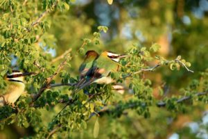 beautiful white-throated bee-eaters, dozens congregated in this bush for the night