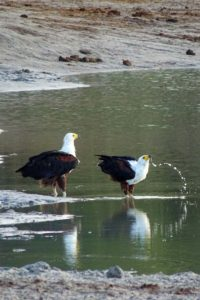 2 African fish eagles coming down for their morning drink, the larger is the female.