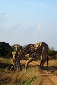 another animal having its morning drink, this time a giraffe and her baby both drinking from a small puddle