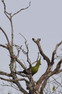 a few stunning Schalow's turacos fly in as we are watching some young lion cubs play