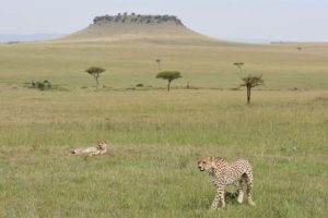 two cheetah brothers in the Serengeti