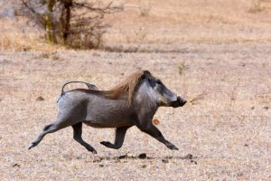 airborne warthog, looking very elegant