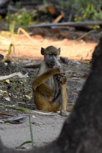 this young yellow baboon is using hands and feet to munch on his palm nut