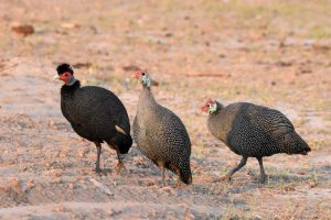 a stranger in the mix, one lost crested guineafowl amongst the helmeted guineafowl