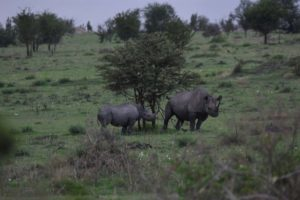 black rhino with calf, she is marking her territory