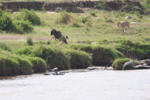this time selecting a young, unexperienced wildebeest probably tired of the swim across