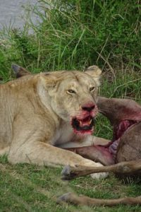lipstick applied without a mirror, she is eating the larger wildebeest of her 2 kills