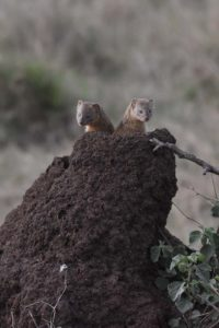 2 slender mongoose peaking up from a termite mount, a new species for Jon and Jude