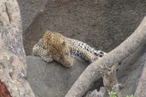 leopard number 2 is spotted resting in a kopje