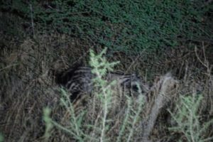 the civet appeared just after the genet and they were in the same area for quite some time