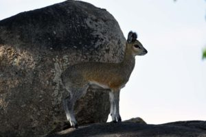 look at how this klipspringer stands on his toes, they are incredibly agile and fast on the rocks