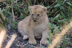 this little cute cub was estimated to be only 2 weeks old