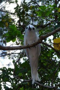 the white tern