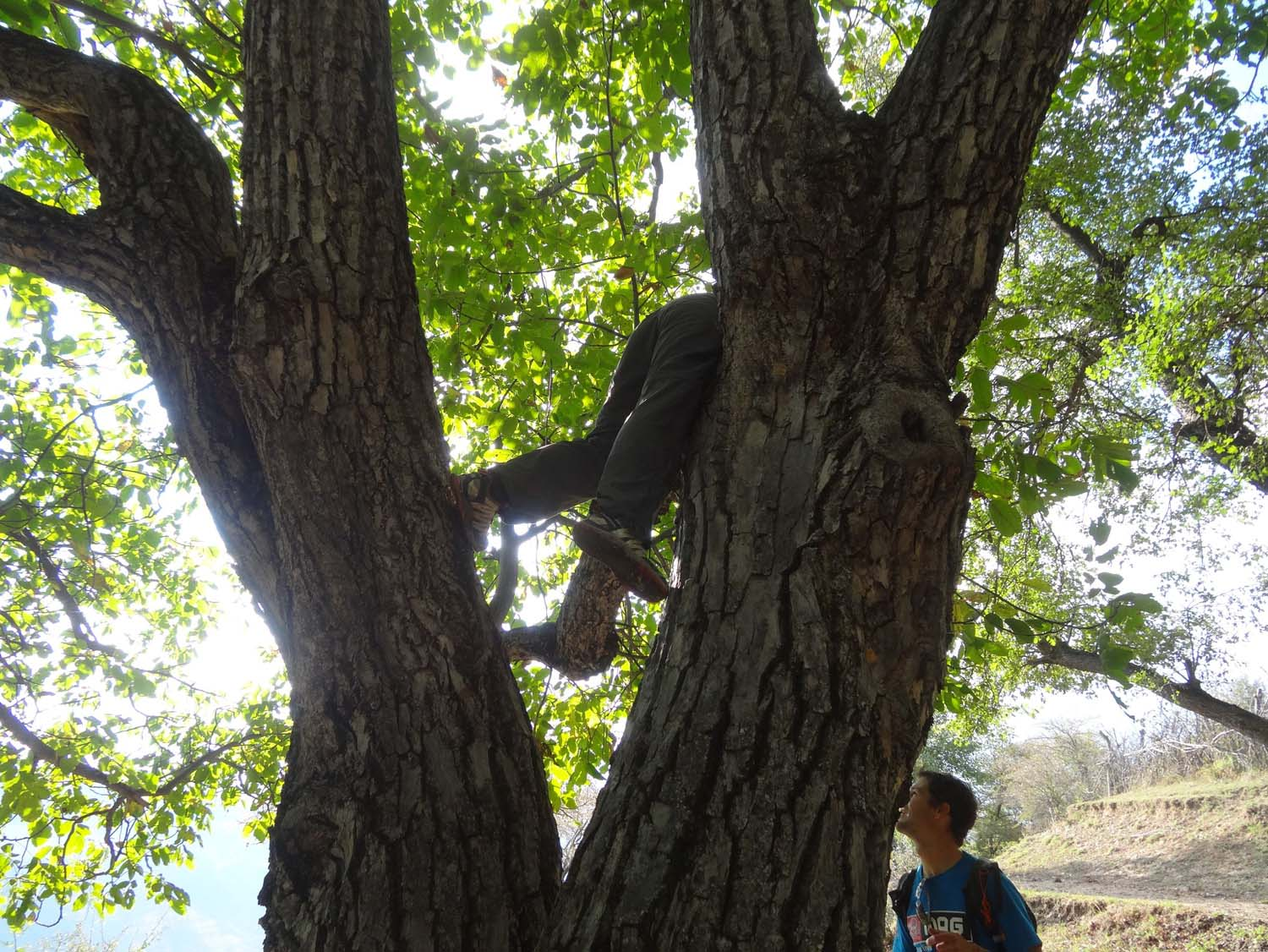 climbing a walnut tree for some good shakin'