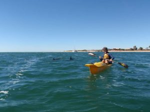 the dolphins are curious and follow us on the kayaks for a while