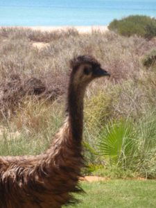 several emus walk into the gardens