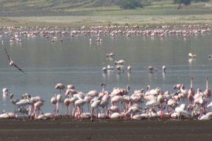 flamingoes as we reach Magadi