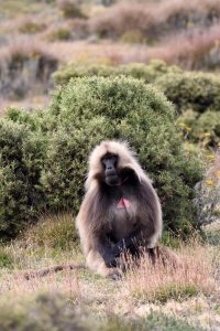 a male gelada monkey with the red hourglass shape very visible on his chest