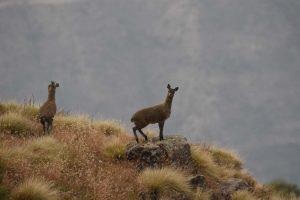 klipspringers in the Simien Mountains NP