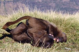 two young gelada monkeys playing