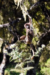 the small gelada monkeys play and can still be seen climbing trees, once they get older they just eat, sleep, groom and have sex (sounds like a pretty good life!)