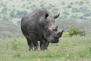 another white rhino (the name originally wasn't 'white', but 'wide' for their wide mouth)